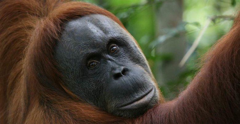 Photo of Orangutan – a forest man
