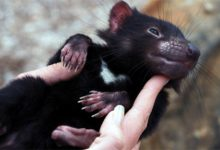Photo of Tasmanian devil – the aggressive marsupial
