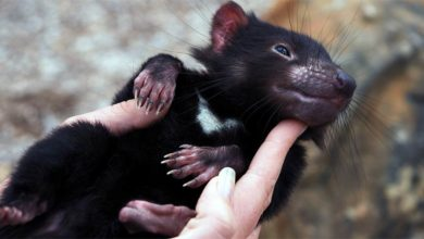 Photo of Tasmanian devil – the aggressive marsupial