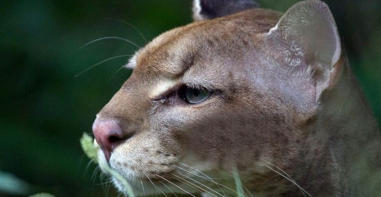 Photo of African golden cat – leopard's brother