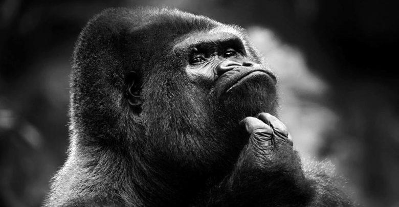 Photo of Gorillas – the biggest monkeys