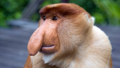 Photo of Proboscis monkey – long-nosed monkey