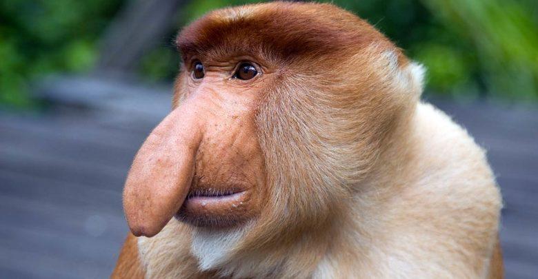 Photo of Proboscis monkey – long-nosed monkey