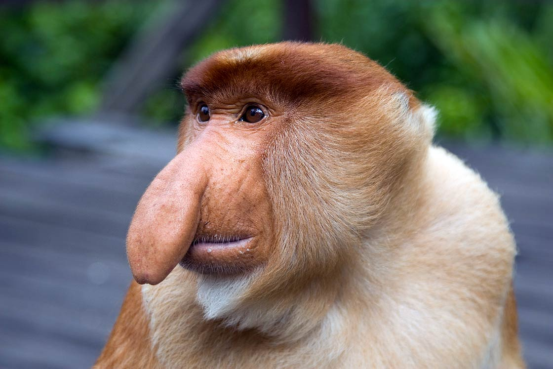 Long-nosed-monkey.jpg