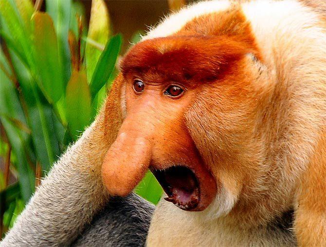 [Image: Long-nosed-monkey1-670x507.jpg]