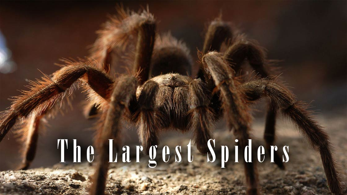 The Largest Spiders Top 10 Dinoanimals Com