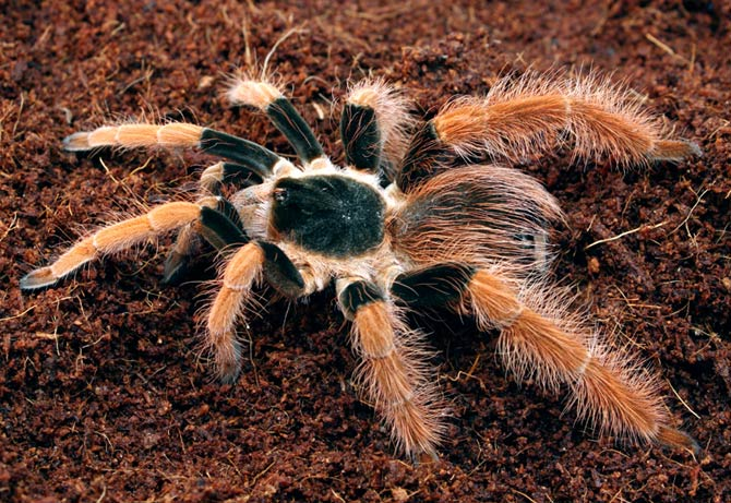 The Largest Spiders Top 10 Dinoanimalscom