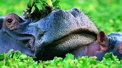 Photo of Hippopotamus – the river horse