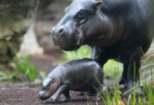 Photo of Pygmy hippopotamus – night loner