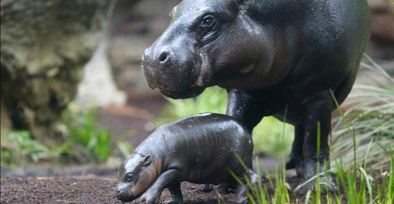 Photo of Pygmy hippopotamus – night loner