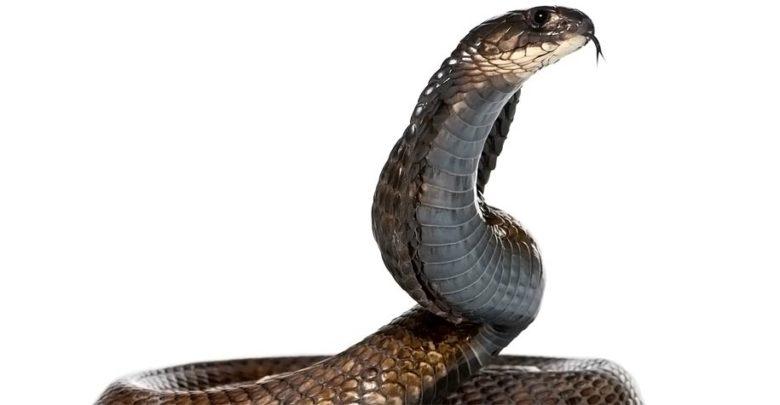 Photo of Egyptian cobra – Cleopatra's snake