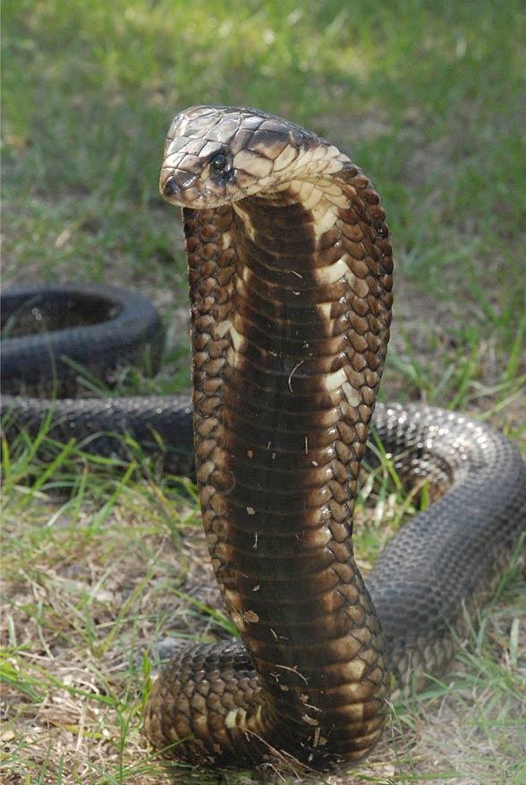 Egyptian Cobra Cleopatras Snake Dinoanimals
