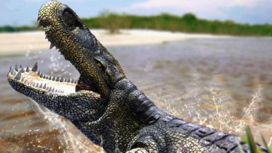 Photo of Purussaurus – a bus sized caiman