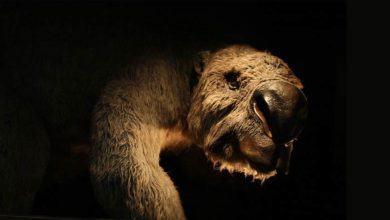 Photo of Diprotodon – the largest known marsupial