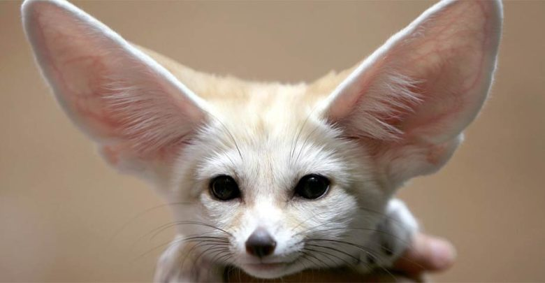 Photo of Fennec fox – the smallest canid