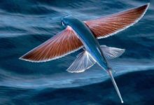 Photo of Flying fish – unusual fish
