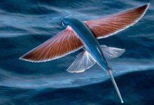 Photo of Flying fish – unusual fish