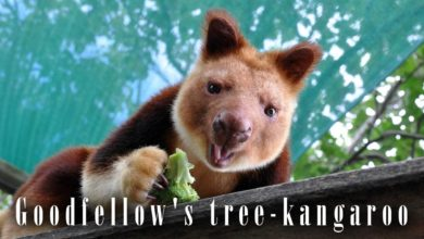 Photo of Goodfellow's tree-kangaroo