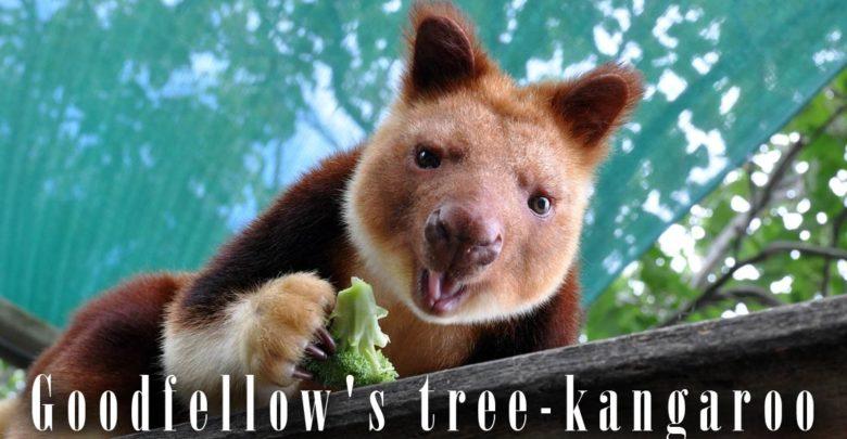 Photo of Goodfellow's tree-kangaroo