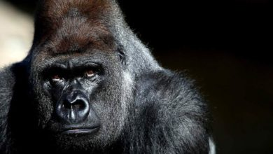 Photo of Gorilla – the world's biggest ape