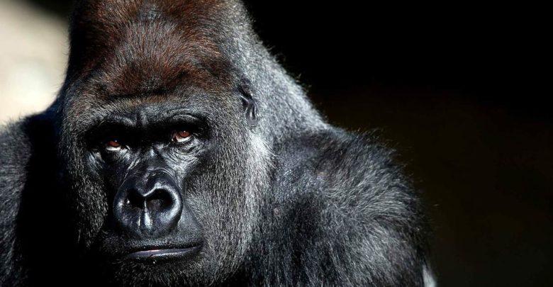 Photo of Gorilla – the world's biggest ape