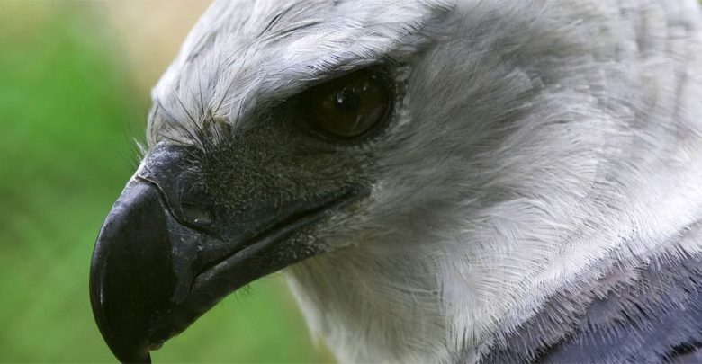 Photo of Harpy eagle – one of the largest birds of prey