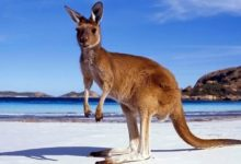 Photo of Kangaroo – jumping boxer