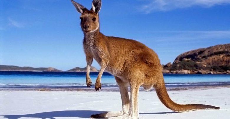 Photo of Kangaroo – jumping boxer