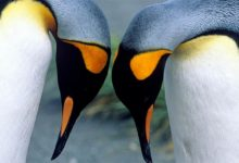 Photo of King penguin (Aptenodytes patagonicus)