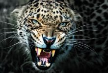 Photo of Man-eaters: Leopard of Panar