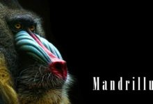 Photo of Mandrill – the largest Old World monkey