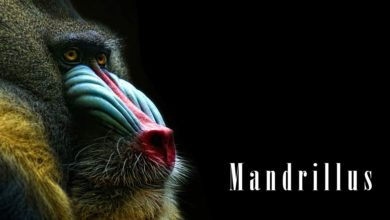 Photo of Mandrill – the largest Old World monkey