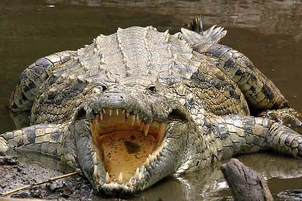 Man-eaters: Crocodile Gustave | DinoAnimals.com