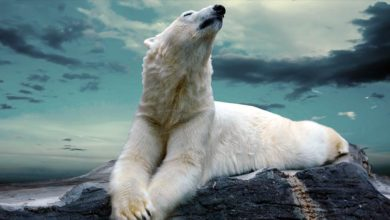 Photo of Polar bear – the king of the north