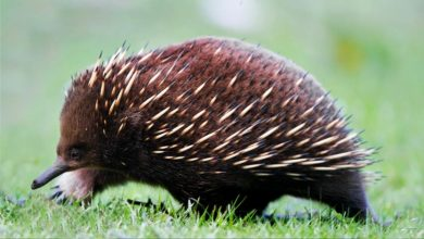 Photo of Short-beaked echidna – spiny strongman