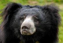 Photo of Man-eaters: Sloth bear of Mysore