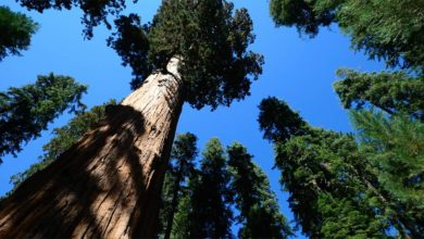 Photo of The tallest trees – Top 10