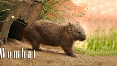 Photo of Wombat – plump mammal