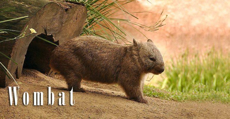 Photo of Wombat – plump mammal