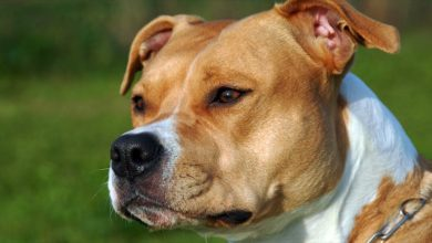 Photo of American Staffordshire Terrier – Amstaff