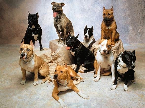 American Staffordshire Terrier – Amstaff   DinoAnimals com