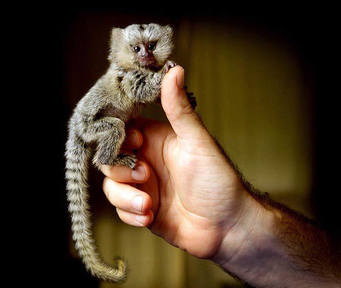 Pygmy-marmoset-2-670x565.jpg