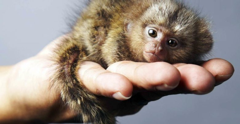 Photo of Pygmy marmoset – the smallest monkey in the world