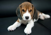 Photo of Beagle – a friendly dog