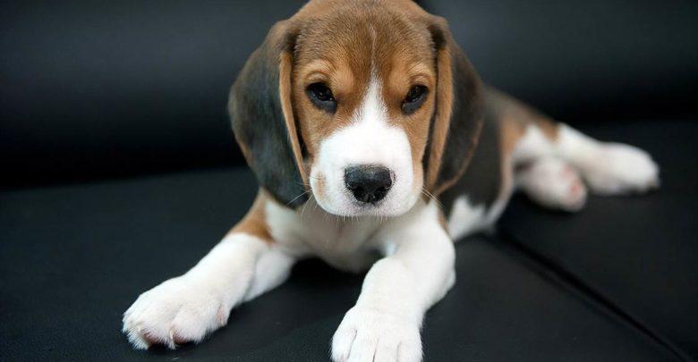 Photo of Beagle – a friendly dog