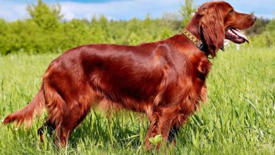 Photo of Irish Setter