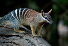 Photo of Numbat, noombat, walpurti (Myrmecobius fasciatus)