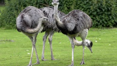 Photo of Greater rhea and Lesser rhea