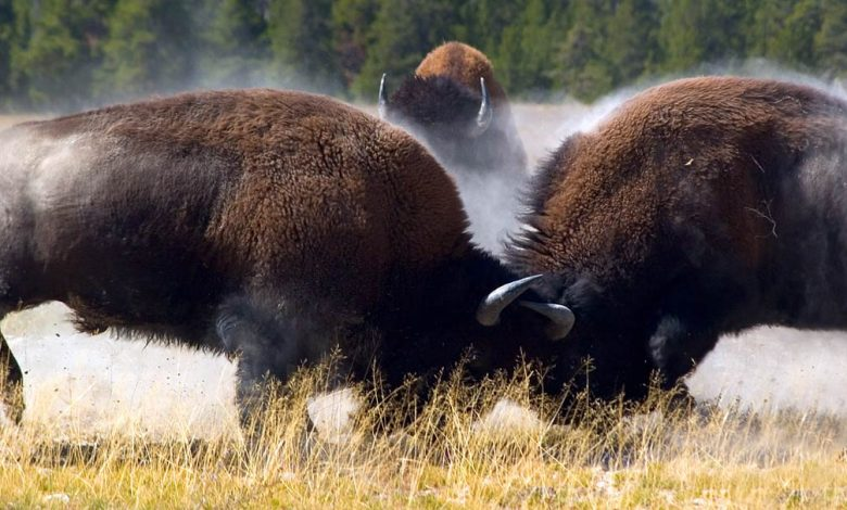 Photo of Bison – the largest animal of North America