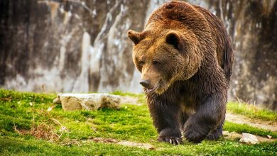 Photo of Brown bear (Ursus arctos)